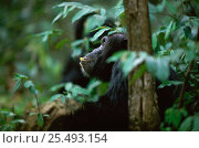 Купить «Adult Chimpanzee sitting while feeding and 'thinking' {Pan troglodytes schweinfurtheii} Kasekela community, Gombe NP, Tanzania. 2002», фото № 25493154, снято 29 января 2020 г. (c) Nature Picture Library / Фотобанк Лори