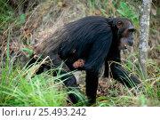 Купить «Female Chimpanzee 'Tanga' carrying daughter 'Tita' {Pan troglodytes schweinfurtheii} Gombe NP, Tanzania. 2002», фото № 25493242, снято 22 марта 2019 г. (c) Nature Picture Library / Фотобанк Лори