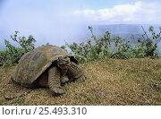 Купить «Giant tortoise {Geochelone elephantopus} Alcedo Volcano, Isabela Island, Galapagos Islands», фото № 25493310, снято 16 февраля 2019 г. (c) Nature Picture Library / Фотобанк Лори