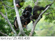 Chimpanzees gather around alpha male 'Frodo' begging for share of Bushbuck fawn prey {Pan troglodytes schweinfurtheii}, Kasekela community, Gombe NP, Tanzania. 2002. Стоковое фото, фотограф Anup Shah / Nature Picture Library / Фотобанк Лори