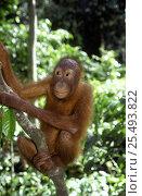 Juvenile Orang utan {Pongo pygmaeus} Sabah, Borneo, Malaysia. Стоковое фото, фотограф Jurgen Freund / Nature Picture Library / Фотобанк Лори