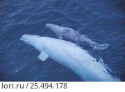 Купить «White / Beluga whale + baby {Delphinapterus leucas} Nunavut, Canadian arctic», фото № 25494178, снято 25 марта 2019 г. (c) Nature Picture Library / Фотобанк Лори