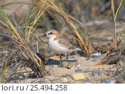 Купить «Red-capped plover with eggs at nest {Charadrius ruficapillus}  Australia», фото № 25494258, снято 21 ноября 2019 г. (c) Nature Picture Library / Фотобанк Лори