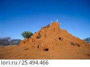 Dwarf mongoose {Helogale parvula} group inhabit termite mound. Tsavo East NP, Kenya. Стоковое фото, фотограф Jabruson / Nature Picture Library / Фотобанк Лори
