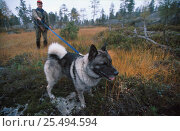 Купить «Hunter with 'grey moose dog' (Gra elghund) hunting Moose, Norway», фото № 25494594, снято 16 августа 2018 г. (c) Nature Picture Library / Фотобанк Лори