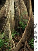 Купить «Buttress roots details, Manaus, Brazil, South America», фото № 25494702, снято 23 марта 2019 г. (c) Nature Picture Library / Фотобанк Лори