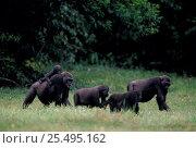 Western lowland gorilla family feed in bai {Gorilla g gorilla} Rep of Congo, Odzala NP. Стоковое фото, фотограф Jabruson / Nature Picture Library / Фотобанк Лори