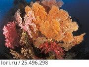 Купить «Soft coral {Dendronephthya sp} + Gorgonia fan  Sulu-Sulawesi seas, Indo Pacific», фото № 25496298, снято 22 февраля 2019 г. (c) Nature Picture Library / Фотобанк Лори