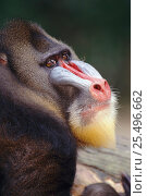 Купить «Mandrill head portrait male {Mandrillus sphinx} occurs West Africa forests», фото № 25496662, снято 27 мая 2019 г. (c) Nature Picture Library / Фотобанк Лори