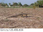 Купить «American alligator walking near campsite. Everglades, FL, USA {Alligator mississippiensis}», фото № 25496834, снято 12 ноября 2019 г. (c) Nature Picture Library / Фотобанк Лори