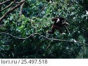White handed gibbon running along branch {Hylobates lar} Стоковое фото, фотограф Anup Shah / Nature Picture Library / Фотобанк Лори