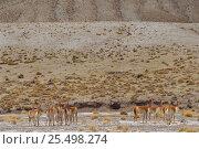 Купить «Wild Vicuna herd on altiplano at 5000 metres {Lama vicugna} SW Bolivia, South America 2001», фото № 25498274, снято 25 марта 2019 г. (c) Nature Picture Library / Фотобанк Лори