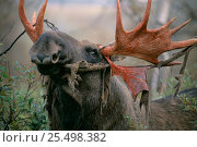 Moose bull eating antler velvet {Alces alces} Sarek NP, Sweden. Стоковое фото, фотограф Staffan Widstrand / Nature Picture Library / Фотобанк Лори