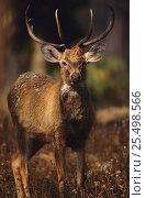 Купить «Male Eld's deer {Cervus eldi} Keibul Lamjao Sanctuary, Manipur, India. Known locally as Sangai or Brow-antlered deer. Endemic threatened species.», фото № 25498566, снято 21 июля 2018 г. (c) Nature Picture Library / Фотобанк Лори