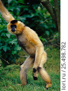 Купить «Female Crested black / Concolor gibbon {Hylobates concolor} standing up on hind legs. Endangered species native to the forests of South China to Vietnam.», фото № 25498782, снято 19 октября 2019 г. (c) Nature Picture Library / Фотобанк Лори
