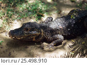 West African dwarf crocodile {Osteolaemus tetraspis}, occurs in West Africa, Endangered species. Стоковое фото, фотограф Anup Shah / Nature Picture Library / Фотобанк Лори