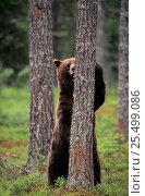 Купить «Brown bear sharpening claws on tree {Ursus arctos} Lapland, Finland.», фото № 25499086, снято 18 июля 2018 г. (c) Nature Picture Library / Фотобанк Лори