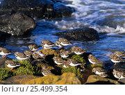 Купить «Turnstone {Arenaria interpres} flock roosting beside water, winter plumage. Tasmania, Australia», фото № 25499354, снято 21 ноября 2019 г. (c) Nature Picture Library / Фотобанк Лори