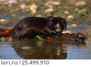 Купить «Canadian otter {Lutra canadensis} feeding on fish, USA», фото № 25499910, снято 4 июня 2020 г. (c) Nature Picture Library / Фотобанк Лори