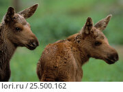 Купить «Moose twin calves {Alces alces} captive Boras Zoo, Sweden.», фото № 25500162, снято 23 января 2019 г. (c) Nature Picture Library / Фотобанк Лори