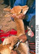 Купить «Captured wild Vicuna wool being sheared with scissors {Lama vicugna} SW Bolivia, S America to benefit San Antonio community Dept Potosi 2001», фото № 25500298, снято 19 февраля 2019 г. (c) Nature Picture Library / Фотобанк Лори