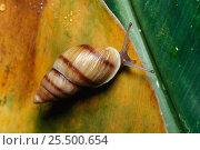 Купить «Moorean viviparous tree snail {Partula suturalis} extinct in Moorea», фото № 25500654, снято 20 сентября 2018 г. (c) Nature Picture Library / Фотобанк Лори