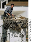 Купить «Researcher tagging White stork chicks at nest {Ciconia ciconia} Spain», фото № 25500874, снято 24 сентября 2018 г. (c) Nature Picture Library / Фотобанк Лори