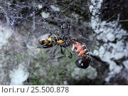 Купить «Malabar orb web spider female feeds on caterpillar in web {Nephilengys malabarensis} Sumatra», фото № 25500878, снято 26 сентября 2018 г. (c) Nature Picture Library / Фотобанк Лори