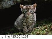 Wild cat kitten {Felis silvestris} Spain, captive. Стоковое фото, фотограф John Cancalosi / Nature Picture Library / Фотобанк Лори