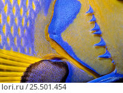 Купить «Queen angelfish close-up of gills and pectoral fin {Holacanthus ciliaris} Bahamas, Caribbean», фото № 25501454, снято 21 августа 2018 г. (c) Nature Picture Library / Фотобанк Лори