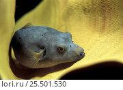 Купить «Immaculate pufferfish {Arothron immaculatus} Truk Lagoon, Micronesia», фото № 25501530, снято 13 декабря 2017 г. (c) Nature Picture Library / Фотобанк Лори