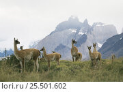 Guanaco herd with mountains behind {Lama guanicoe} Torres del Paine NP, Patagonia, Chile. Стоковое фото, фотограф Ingo Arndt / Nature Picture Library / Фотобанк Лори