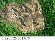 Купить «European hare leverets in grass {Lepus europaeus} Austria», фото № 25501670, снято 4 июня 2020 г. (c) Nature Picture Library / Фотобанк Лори