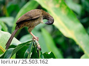 Купить «Variable chachalaca bird preening {Ortalis motmot} Amazonia, Ecuador.South America», фото № 25503162, снято 19 октября 2019 г. (c) Nature Picture Library / Фотобанк Лори
