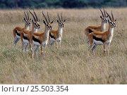 Купить «Thompsons gazelle {Gazella thomsoni} - bachelor male group, Masai Mara, Kenya», фото № 25503354, снято 13 июля 2020 г. (c) Nature Picture Library / Фотобанк Лори