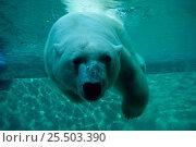 Купить «Polar bear swimming underwater {Ursus maritimus}  in Zoo enclosure, Canada», фото № 25503390, снято 11 декабря 2018 г. (c) Nature Picture Library / Фотобанк Лори