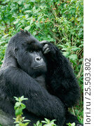 Купить «Mountain gorilla portrait {Gorilla g beringei} Virunga NP, Congo», фото № 25503802, снято 24 апреля 2019 г. (c) Nature Picture Library / Фотобанк Лори