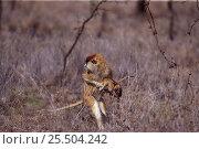 Купить «Female Patas monkey stealing baby {Erythrocebus patas}  Kenya», фото № 25504242, снято 22 марта 2019 г. (c) Nature Picture Library / Фотобанк Лори