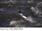 Купить «Goosander male fishing in river {Mergus merganser} UK», фото № 25504814, снято 27 мая 2020 г. (c) Nature Picture Library / Фотобанк Лори