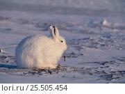 Купить «Arctic hare on snow {Lepus arcticus} Canada.», фото № 25505454, снято 15 августа 2018 г. (c) Nature Picture Library / Фотобанк Лори