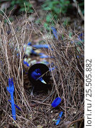 Купить «Male Satin bowerbird in bower {Ptilonorhynchus violaceus} decorating bower with blue objects to attract female mate, Lamington NP, Queensland, Australia», фото № 25505882, снято 22 января 2019 г. (c) Nature Picture Library / Фотобанк Лори