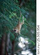 Купить «Playful Vervet monkey in tree (Chlorocebus / Cercopithecus aethiops) Samburu NR, Kenya», фото № 25505954, снято 14 октября 2019 г. (c) Nature Picture Library / Фотобанк Лори