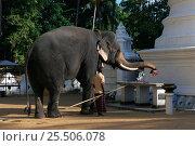 Купить «Domestic Tusker Asian elephant (Elephas maximus) presents lotus flowers at Buddhist temple, Kataragama, Sri Lanka's second most sacred place of pilgrimage», фото № 25506078, снято 19 августа 2018 г. (c) Nature Picture Library / Фотобанк Лори