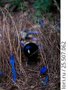 Купить «Satin bowerbird in bower decorated with collected blue plastic items. Bower built to attract mate, Lamington NP, Queensland, Australia», фото № 25507062, снято 22 января 2019 г. (c) Nature Picture Library / Фотобанк Лори