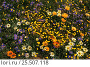 Купить «Namaqualand daisies in flower, Namaqualand, South Africa», фото № 25507118, снято 19 июня 2019 г. (c) Nature Picture Library / Фотобанк Лори