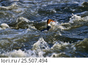Купить «Goosander female fishing in river {Mergus merganser} UK», фото № 25507494, снято 27 мая 2020 г. (c) Nature Picture Library / Фотобанк Лори