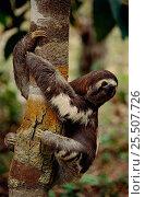 Pale throated sloth climbing tree {Bradypus tridactylus} Manaus, Brazil. Стоковое фото, фотограф Staffan Widstrand / Nature Picture Library / Фотобанк Лори