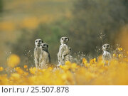 Купить «Suricates / Meerkats amongst flowers {Suricata suricatta} Namaqualand, South Africa», фото № 25507878, снято 5 августа 2020 г. (c) Nature Picture Library / Фотобанк Лори