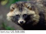 Купить «Raccoon dog portrait {Nyctereutes procyonoides}», фото № 25508086, снято 9 августа 2018 г. (c) Nature Picture Library / Фотобанк Лори