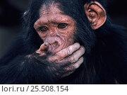 Young chimpanzee {Pan troglodytes schweinfurthii} Virunga NP, Congo. Стоковое фото, фотограф Jabruson / Nature Picture Library / Фотобанк Лори